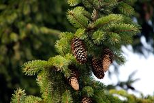 Free Fir Cone Stock Images - 17179514