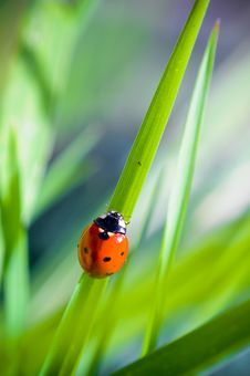 Free Ladybug Royalty Free Stock Images - 17179739