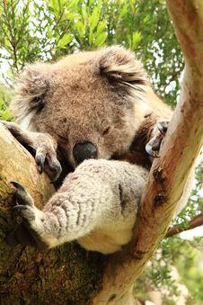 Koala (Phascolarctos Cinereus) Sleeping On A Tree Stock Photo