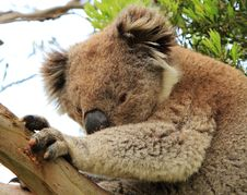 Free Sidelong Glance Of A Koala Royalty Free Stock Photos - 17180858