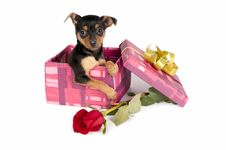 Pincher Puppy In A Christmas Gift Box. Stock Image