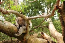 Koala (Phascolarctos Cinereus) Sleeping On A Tree Royalty Free Stock Photo