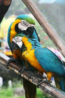 Free Pair Of Large Parrots Royalty Free Stock Photography - 17181177