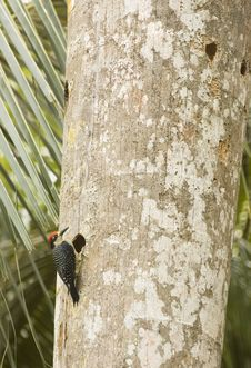 Free Black-cheeked Woodpecker On Palm Tree Stock Photography - 17181402