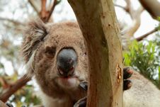 Free Koala (Phascolarctos Cinereus) Look From A Tree Royalty Free Stock Photography - 17181787