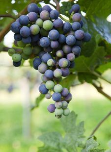 Free Grapes Growing Royalty Free Stock Images - 17181969