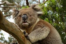 Koala (Phascolarctos Cinereus) On The Alert Stock Image