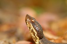 Free Pit Viper Portrait Royalty Free Stock Image - 17183876