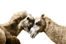 Free Camels Resting Royalty Free Stock Images - 17184059