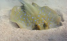 Free Blue Spotted Stingray Royalty Free Stock Photos - 17184358