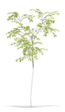 Free Birch Royalty Free Stock Image - 17187026