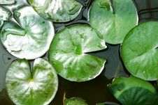 Free Green Lotus Leaves Stock Photo - 17188050