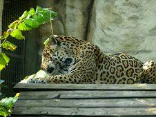 Free Amur Leopard (Panthera Pardus Orientalis) Stock Photos - 17188063