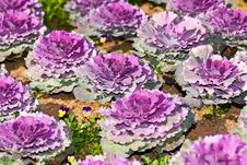 Free Beautiful Violet Cabbage In Garden Stock Photography - 17189162