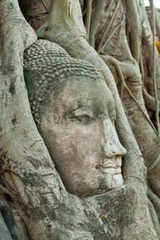 Free Head Of Buddha In Root Royalty Free Stock Images - 17189349