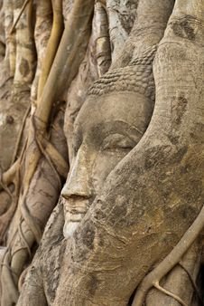 Free Head Of Buddha In Root Royalty Free Stock Photography - 17189367
