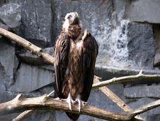 Cinereous Vulture Stock Photo