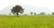Free Tree On Rice Farms Royalty Free Stock Photos - 17189848