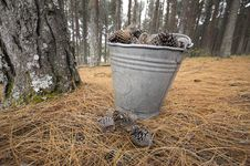 Pine With Bucket Royalty Free Stock Images