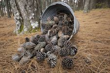 Free Bucket With Pine Cones Royalty Free Stock Image - 17191146