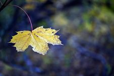 Free Single Maple Leaf Royalty Free Stock Photography - 17192737
