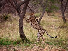 Free Cheetah Up Against Tree Stock Image - 17195571