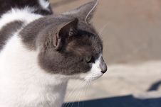 Free Cat Portrait ,a Close Up View Royalty Free Stock Photo - 17195605