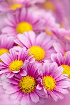 Free Chrysanthemum Royalty Free Stock Photography - 17195997