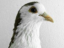 Free Pigeon Stock Image - 17196041
