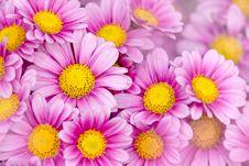 Free Chrysanthemum Royalty Free Stock Photography - 17196157