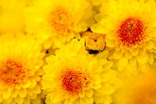 Free Colsed Up Chrysanthemum Stock Photos - 17196243