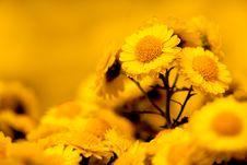 Free Colsed Up Chrysanthemum Stock Image - 17196421