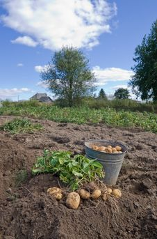 Free Harvesting Potatoes Stock Photo - 17196730