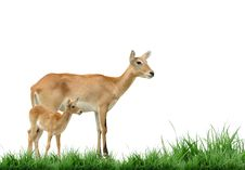 Free Red Lechwe Stock Photos - 17199193