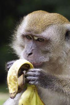 Free Primate Eating Banana Stock Photo - 1720960