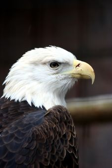 Free Bald Eagle Stock Image - 1721141