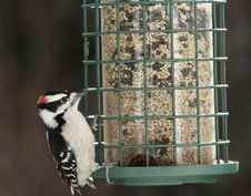 Hungry Woodpecker Royalty Free Stock Images