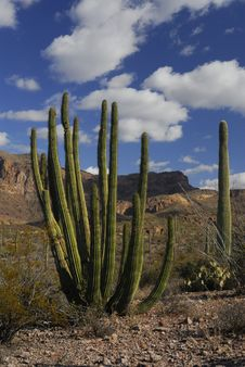 Free Organ Pipe And Saugaro Cactus Royalty Free Stock Photos - 1721658