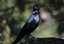 Free Great Tailed Grackle Royalty Free Stock Photo - 1721895