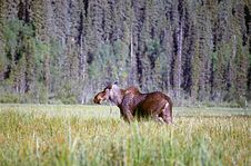 Free Moose, Central British Columbia Stock Photography - 1722212