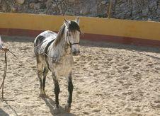 Free Spanish Stallion Stock Images - 1722844