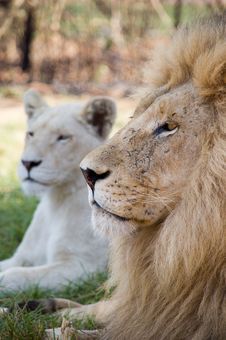 Free Resting Lion Stock Images - 1722854