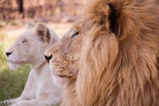Free Lion Portrait Stock Photos - 1723143