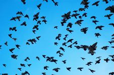 Free Flying Pigeons Royalty Free Stock Image - 1723666