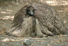 Free Tired Emu Royalty Free Stock Images - 1723969