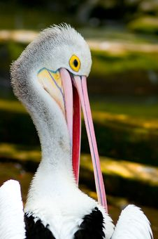 Free Pelican Royalty Free Stock Photography - 1724847