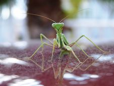 Free Praying Mantis Stock Photo - 1725410