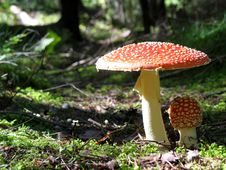Free Fly Agaric - Mushroom 2 Royalty Free Stock Image - 1725626