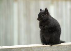 Free Black Squirrel Stock Image - 1726081