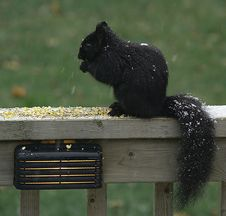 Free Black Squirrel Royalty Free Stock Photography - 1726117